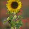 Sunflower_Apple_01112016 (28)