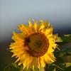 Sunflower_Apple_30102016 (23)