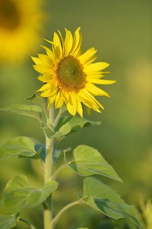 Sunflower_Apple_01112016 (116)