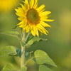 Sunflower_Apple_01112016 (116)