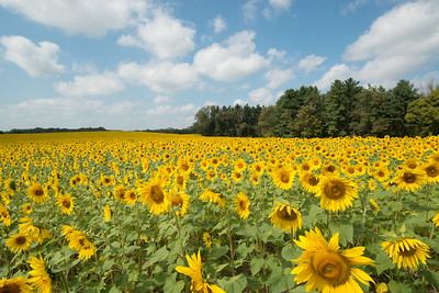 sunflowers14-5582