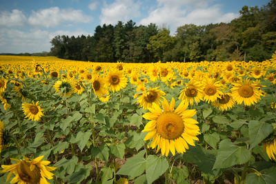 sunflowers14-5516
