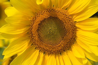 sunflowers14-5651