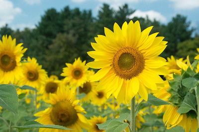 sunflowers14-5719