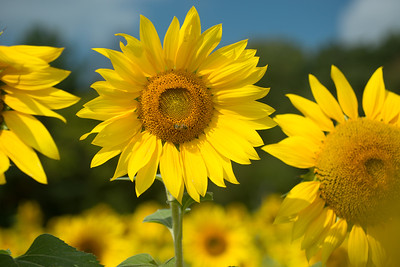 sunflowers14-5692