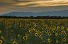 Sunflowers - Chemin des Tacons 02_DSC4756_DSC4757 (2008-07-31)