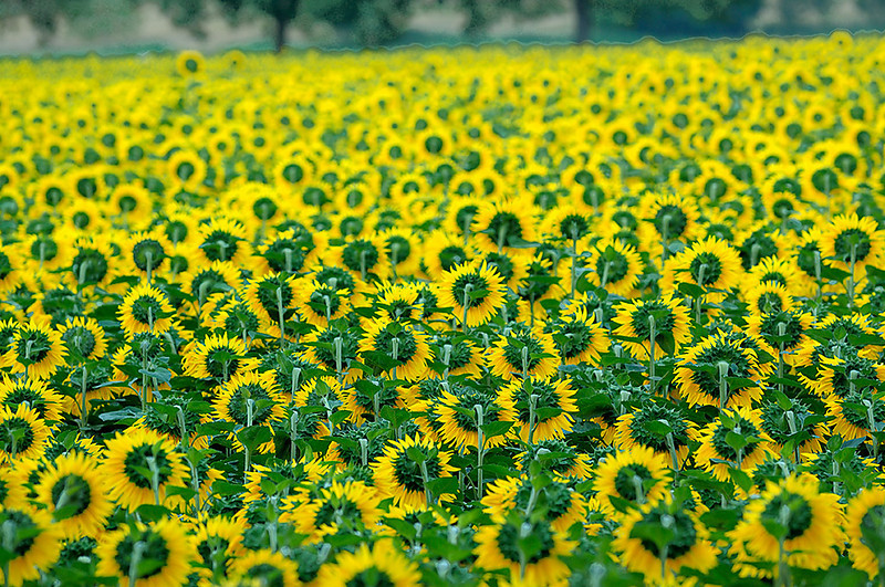 Ch  Machery Sunflowers 05_DSC3484_2009-07-13