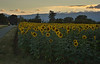 Sunflower Field 06_DSC3014 (2005-07-20)