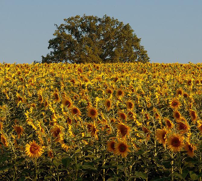 Sunflower Field 03_DSC2974 (2005-07-20)