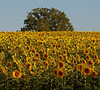 Sunflower Field 03_DSC2974 (2005-07-20)