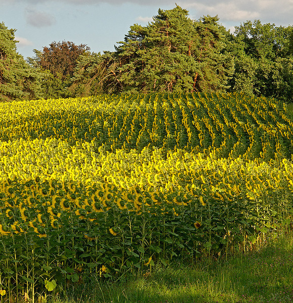 Ch-Machéry-Sunflowers-08_IMG_0226_2009-07-10