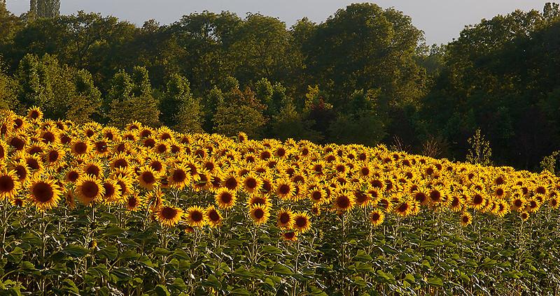 Sunflower Field 01_DSC2965 (2005-07-20)
