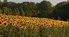 Sunflower Field 01_DSC2965 (2005-07-20)
