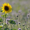 SunflowerFiled_Echichens_0005