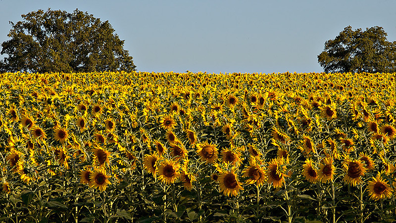 Sunflower Field 02_DSC2973 (2005-07-20)