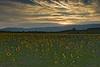 Sunflowers - Chemin des Tacons 03_DSC4768_DSC4769 (2008-07-31)