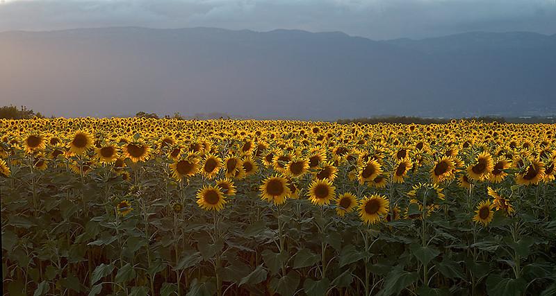 Sunflower Field 05_DSC2994 (2005-07-20)