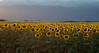 Sunflower Field 05_DSC2994 (2005-07-20)