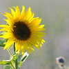 SunflowerFiled_Echichens_0001