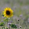 SunflowerFiled_Echichens_0004