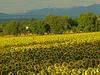 Ch-Machéry-Sunflowers-09_IMG_0228_2009-07-10