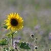 SunflowerFiled_Echichens_0003