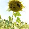 Sun_Flower_Echichens_01092013_0358