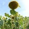 Sun_Flower_Echichens_01092013_0348