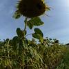 Sun_Flower_Echichens_01092013_0352