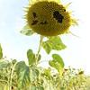 Sun_Flower_Echichens_01092013_0357