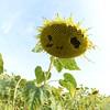 Sun_Flower_Echichens_01092013_0351