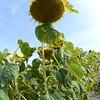 Sun_Flower_Echichens_01092013_0349