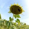 Sun_Flower_Echichens_01092013_0350