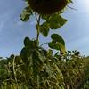 Sun_Flower_Echichens_01092013_0356
