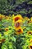 P1040483 Three Sunflowers wsde