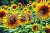 P1040492 Sunflowers wsde