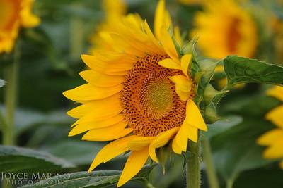Sunflower, DSC_5335