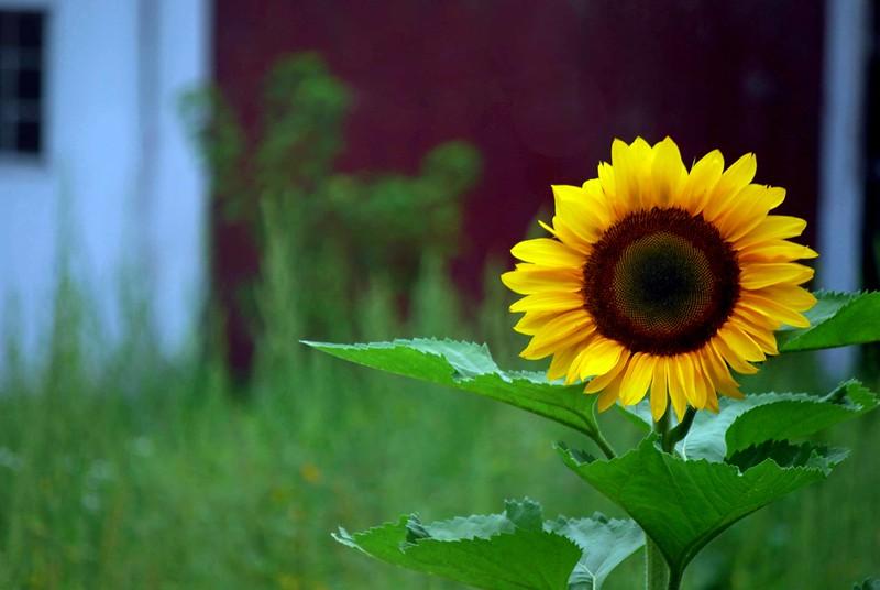 Sunflower-2616-B