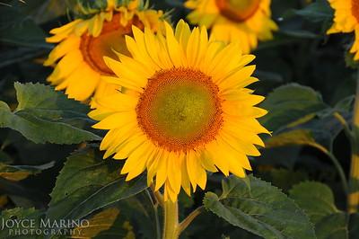 Sunflower DSC_2312