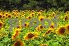 P1040447 Field of Sunflowers wsde