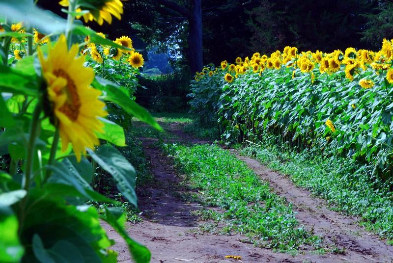Buttonwood-Sunflowers-7-25-09_09 07 25_1023-B