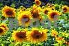 P1040481 Sunflowers wsde