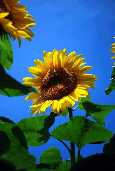 Buttonwood-Sunflowers-7-25-09_09 07 25_1135-B