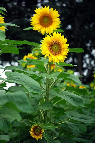 Buttonwood-Sunflowers-7-25-09_09 07 25_0796-B