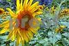 P1040431 CU Sunflower 2wn