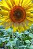 P1040430 CU Sunflower 2wn