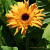 Sun Flower<br /> © Pamela Stover <br /> Exposed Images Photography
