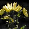 Pale Sunflower in the Morning Light