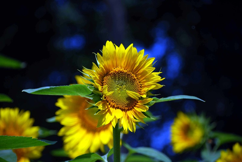 Buttonwood-Sunflowers-7-25-09_09 07 25_1183-C