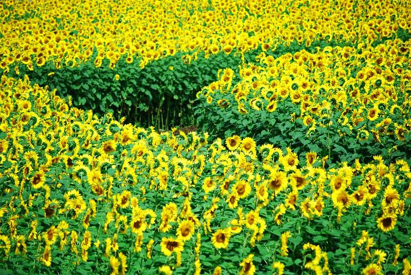 Buttonwood-Sunflowers-7-25-09_09 07 25_1044-B